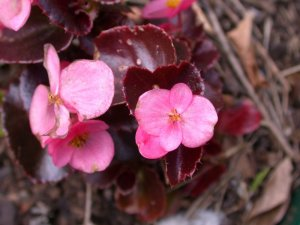 begonias01.jpg by eccles