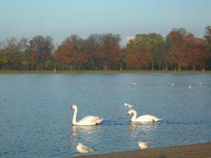 swans02.jpg by orca