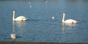 swans01.jpg by orca